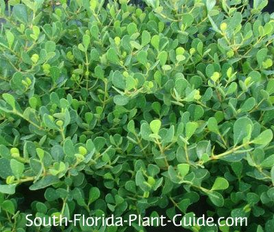 Dwarf Clusia Is A Low Growing Spreading Shrub With
