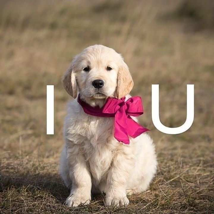 Cuteness I Love You Puppy Golden Retriever Retriever