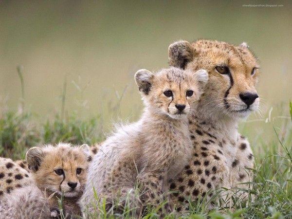 bébés guépards et leur maman