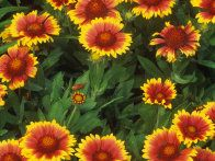 Dwarf sunflowers are suitable for container growing or the fronts of borders. They come in an assortment of colors and measure up to 24 inches.