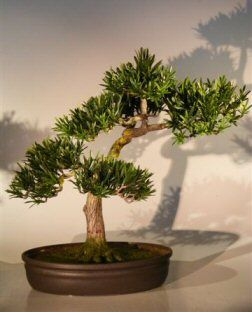 Artificial Podocarpus Buddhist Pine bonsai tree with a traditional curved trunk and tiered layered branching.  Has exposed roots which give the appearance of great age.