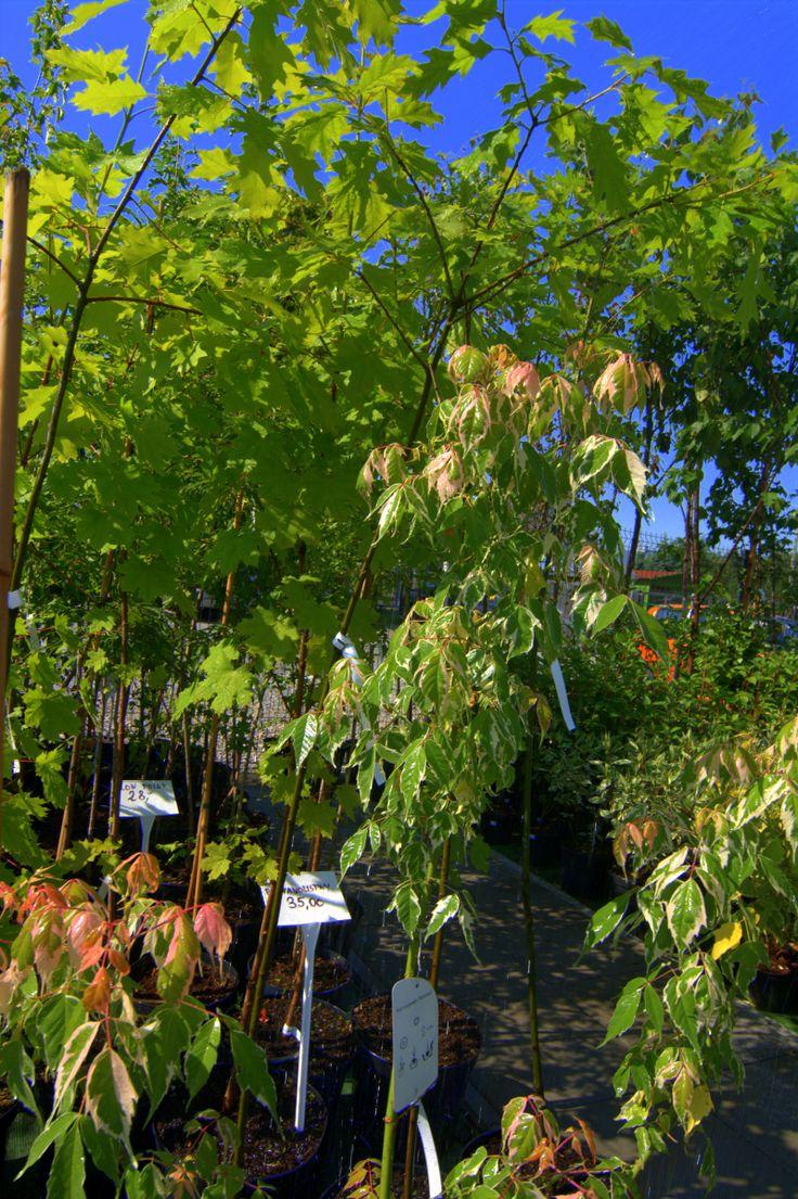 Sadzonki drzew liściastych, alejowych