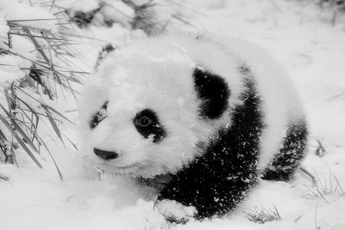 Baby panda in the snow | Wonderful Animals! | Pinterest ...