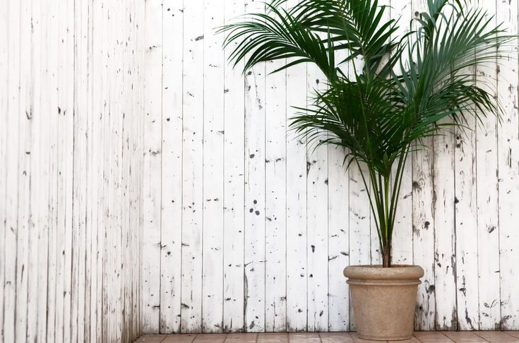 Kentia è una pianta palma, resistente