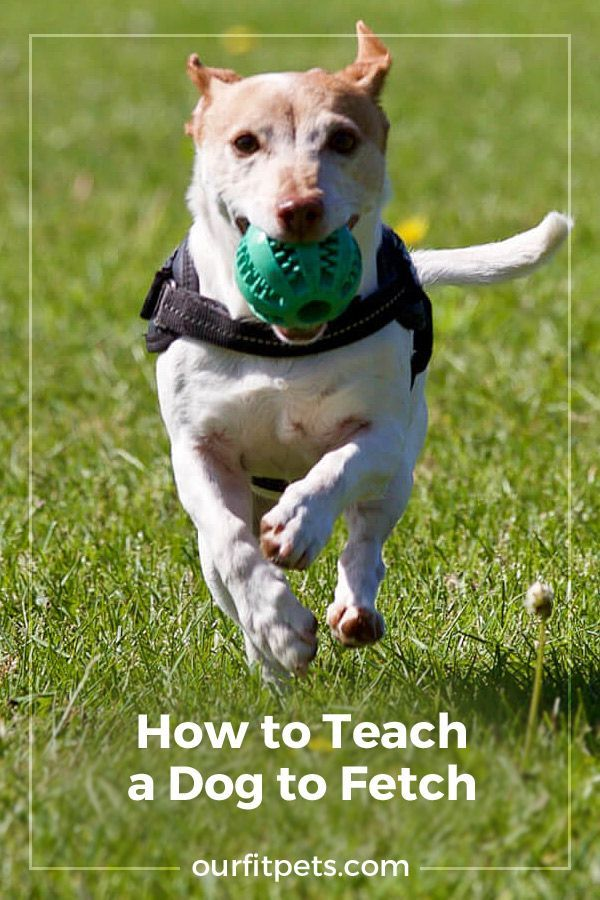 How To Teach A Dog To Fetch Dogs Great Dane Puppy Puppy