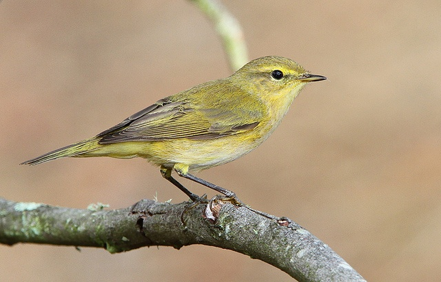 Felosa-musical / Willow warbler by António Guerra, via Flickr