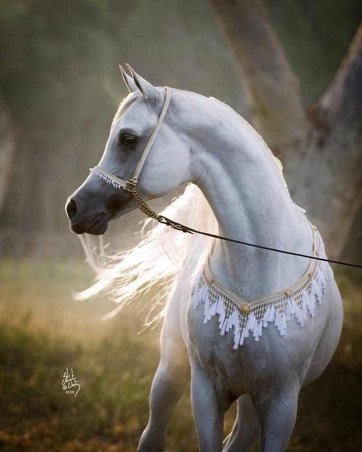 Arabian horse arabian horse show western competition egyptian stallion breeding pintabians - Arabian horse pics ...