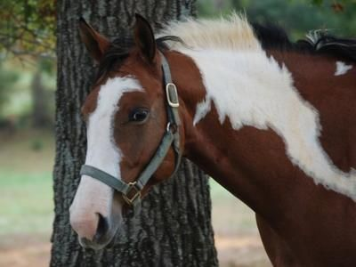 American Paint Horse | petMD