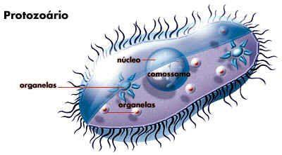 Protistas  A célula do protozoário tem uma membrana simples ou reforçada por capas externas protéicas ou, ainda, por carapaças minerais, como certas amebas (tecamebas) e foraminíferos. Há estruturas de sustentação, como raios de sulfato de estrôncio, carapaças calcáreas ou eixos protéicos internos, os axóstilos, como em muitos flagelados.
