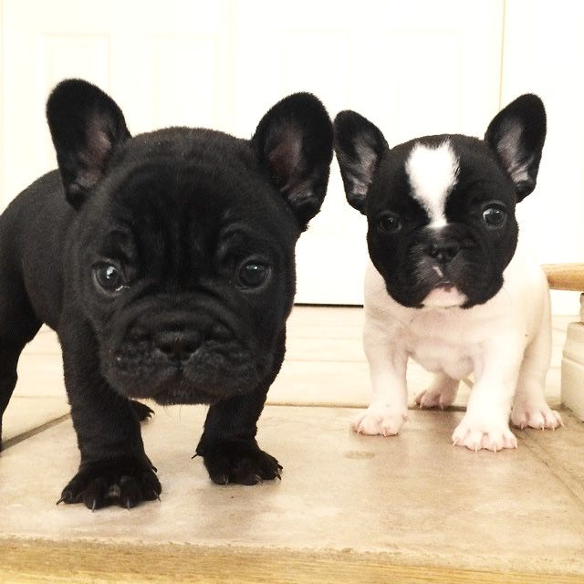 French Bulldog Puppies, from Fleur De Vanille French Bulldogs kennel fhttp://www.frenchbulldogbreed.net/for-sale.html