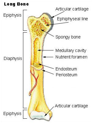 BONE ➡ Rigid organs that constitute part of endoskeleton of vertebrates. SUPPORT & PROTECT the various organs of the body. PRODUCE RBC's & WBC's & store minerals. Bone tissue is a type of dense connective tissue. BONE TISSUE ➡ Osseous, Marrow, Endosteum, Periosteum, Nerves, Blood Vessels& Cartilage. Osseous Tissue, aka - bone tissue gives it rigidity & a coral-like 3D internal structure. Adults: 206 separate bones > At birth: 270 bones. Largest Bone = Femur Smallest Bones = Auditory Ossicles