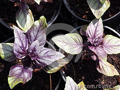 Purple Basils (Ocimum basiicum) growing in plant nursery