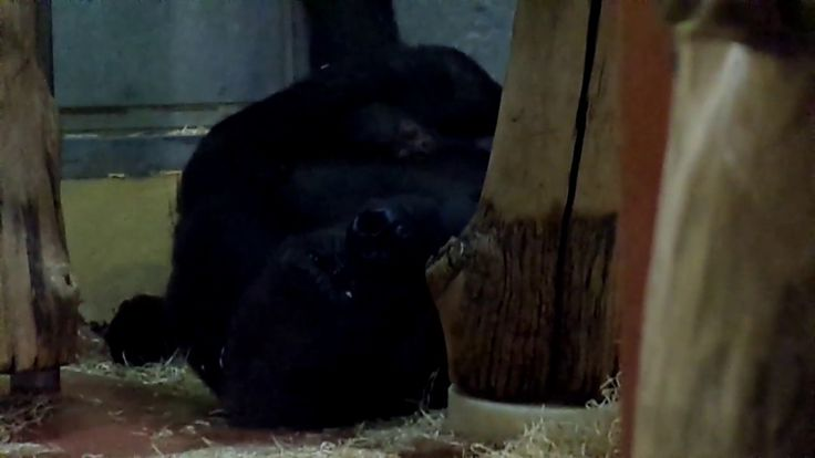 Newborn Gorilla Baby (Budapest Zoo) - one black bell Kong Toy