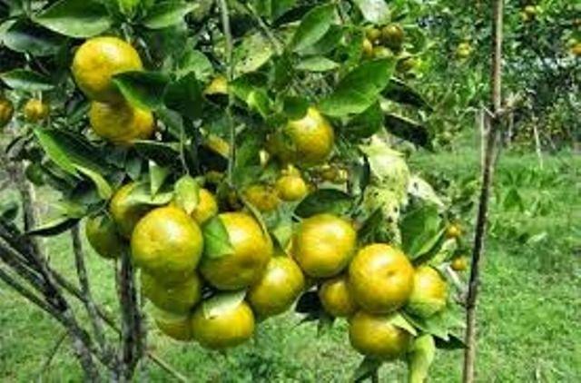 Petani Keluhkan Harga Jeruk Rp.5000 / Kilogram