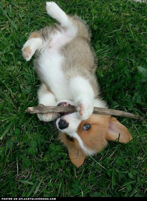 Adorable Corgi puppy with a stick. Grrrrrrr…… I haz a stick and you can't haz it