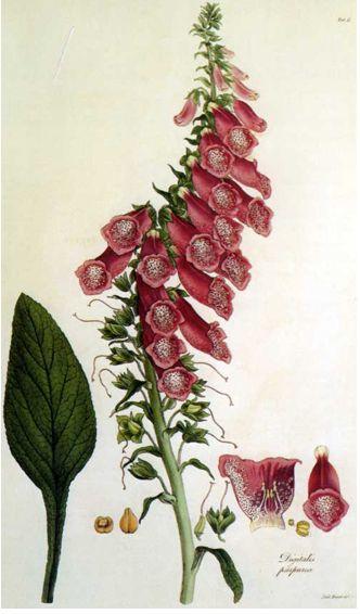 """ROTER FINGERHUT - DEDALERA - COMMON FOXGLOVE (Digitalis purpurea) Verwendet hat man ihn jedoch zu dieser Zeit bereits in Irland, verbunden mit magischen Bräuchen sollte es gegen den """"Bösen Blick"""" helfen. Die Engländer verwendeten die Pflanze als Brechmittel, zur Förderung des Auswurfs bei Bronchitis und um 1700 sogar gegen die Schwindsucht. 1748 zeigten Versuche der Académie Française, dass nach Verfütterung von Fingerhut an Truthähne deren Herz, Leber, Gallenblase und Lunge geschrumpft…"""
