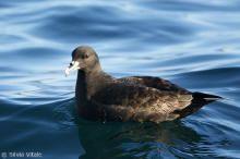 042 Procellaria aequinoctialis - Petrel Barba Blanca - Freebirds