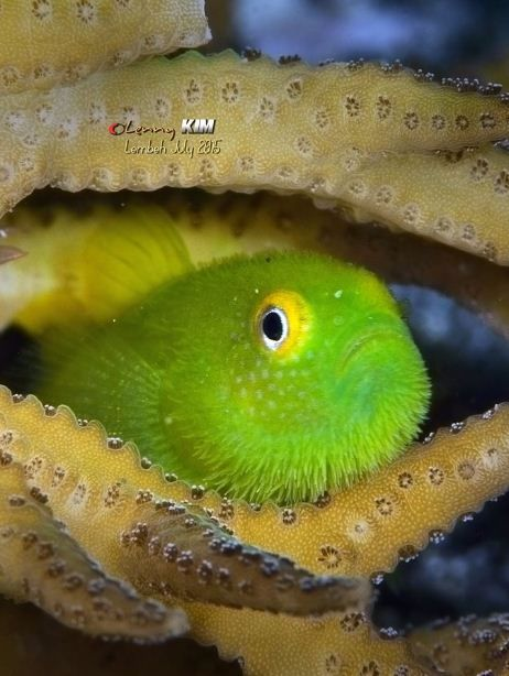 Hairy Goby - by Lenny Kim