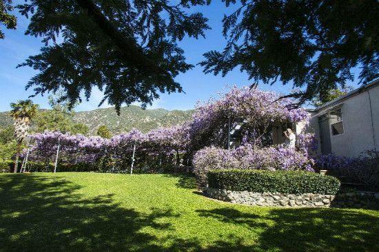To największe drzewo na świecie z kwiatami. Wisiteria w Kalifornii ma ponad 100 lat (1894 r.), waży ponad 250 ton, a jej gałęzie mają ponad 150 m. A na niej półtora miliona kwiatów.