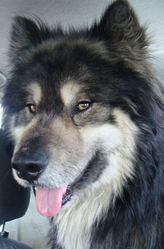 20 Of The Coolest & Craziest Cross Breed Dogs You'll Ever See - German Shepard + Alaskan Malamute = Shalamute
