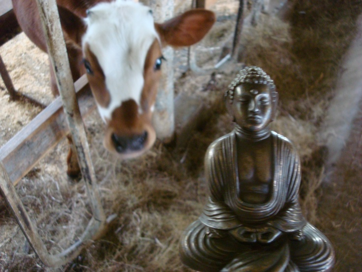 Buddha, 228, BovineBovine, 228, Buddha