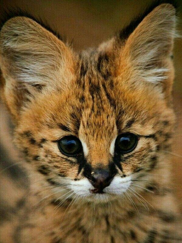 Cute Serval Kitten