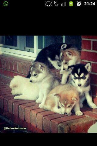 Huskies puppies