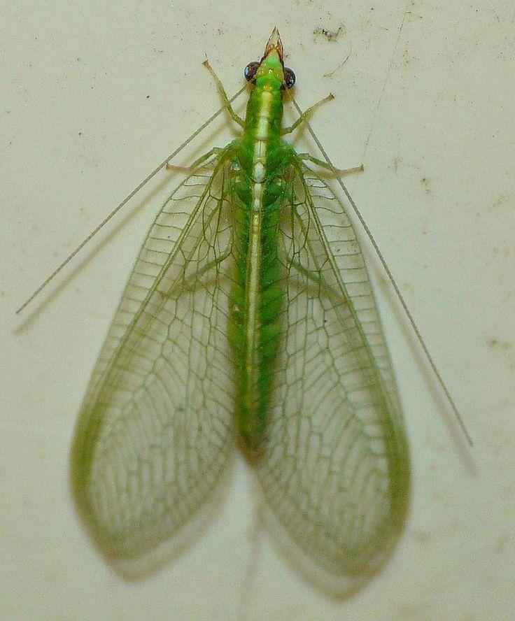 #pestcontrol Montreal photo: Green Lacewing..,..