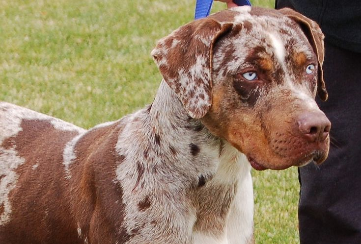 red catahoula leopard dog | Red Merle Catahoula Puppies