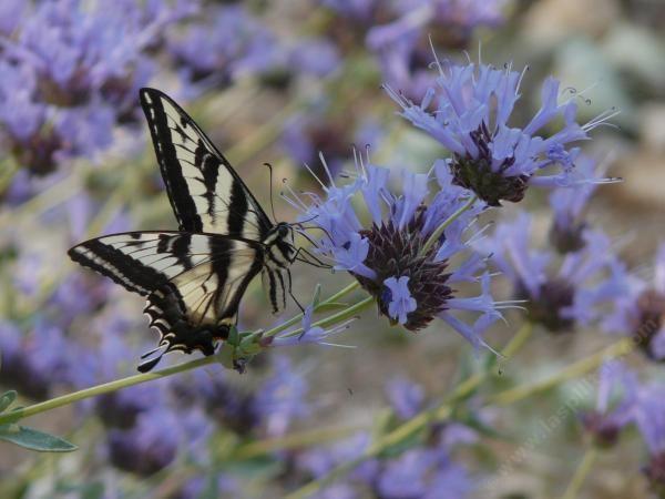 111 best california native plants images on pinterest