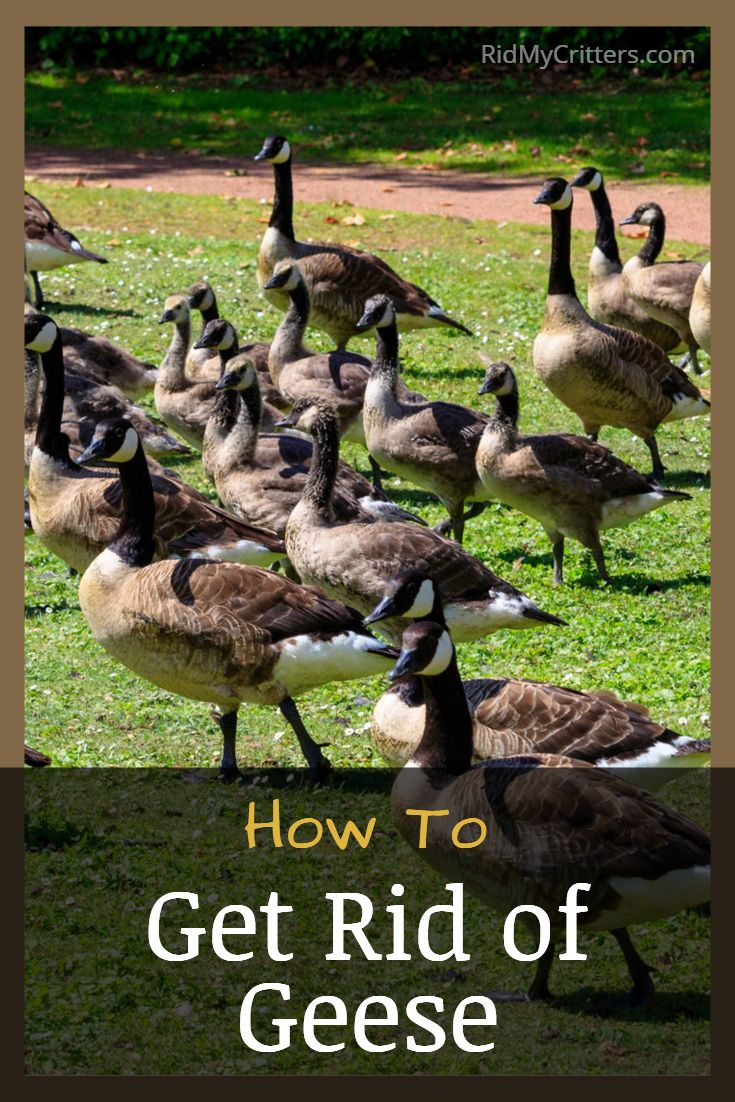 How to get rid of geese from your property and keep them