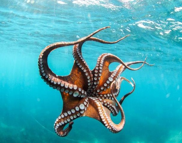 Outstanding 21 An impressive octopus https://meowlogy.com/2018/02/12/21-impressive-octopus/ Octopuses are available in many unique sizes