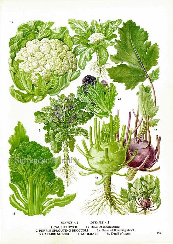 Keukenplaten : Food Cauliflower Broccoli Flowers
