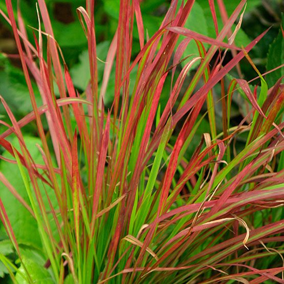Japanese blood grass. Latin name:Imperata cylindrica and cvs.