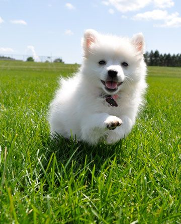 "Born Free!  Alaska, a miniature American Eskimo dog from Moosup, Connecticut. ""Alaska, running wild through the green grass in the summertime,"" writes coltonmabry."