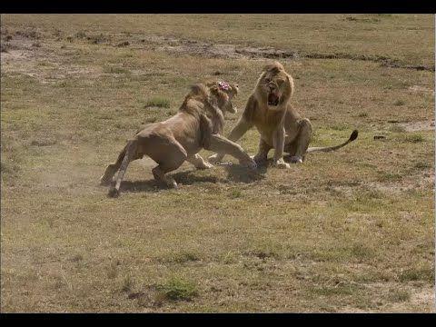 Most Amazing Wild Animal Attacks | Tiger, Zebra, Deer, Leopard, Crocodile