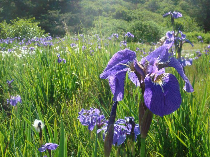 wild iris | Description Wild purple Iris on the Kodiak Archipelago, Alaska 2009 ...
