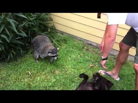 ▶ Vicious raccoon attacks lab - YouTube...(Saying raccoons are vicious on this is the opposite of what goes on). They are playing.