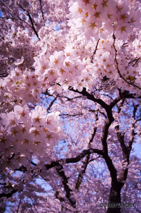 A cherry blossom tree in spring in Ichinoseki, Iwate, Japan.