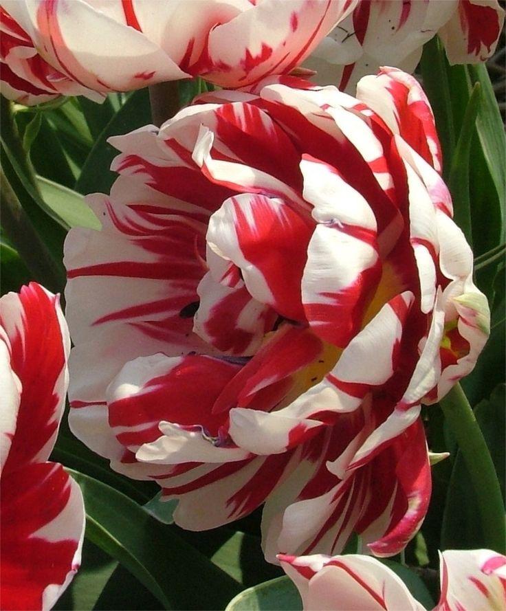 Tulip Carnival de Nice - Peony Flowering Tulips - Tulips - Flower Bulb Index