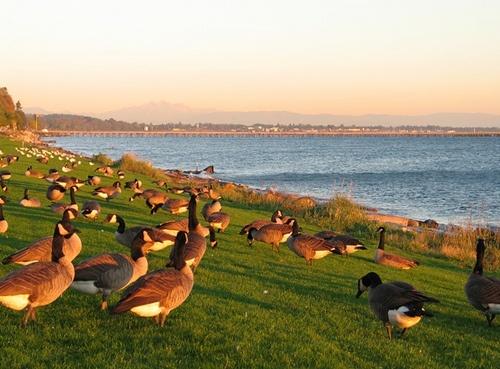 Geese on the Shore, White Rock, BC by Reg Natarajan, via Flickr  #whiterock #garymcgrattenrealtor