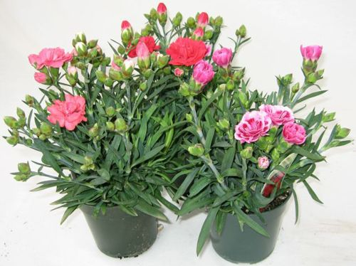 container gardening carnations | Effects on the growth of plants (National Research Council, 1979 ...
