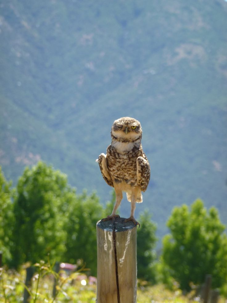 Winking burrowing owl, Colchagua Valley, Chile