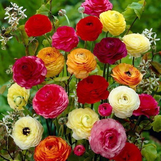 Ranunculus Bulbs - Mix