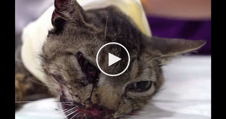 Police received a call from someone who found a cat who was tore to pieces.  They didn't find the person or animal who did this, but rescuers were NOT ready for what they saw when they discovered the poor kitty. When found that his wounds were extensive and after hours and hours of work, this pro