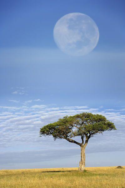 Africa | Umbrella Thorn Acacia, Acacia tortilis, and full moon, Masai Mara Game Reserve, Kenya, |  © Danita Delimont