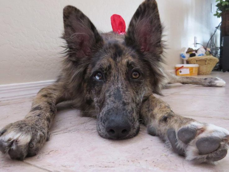 German Shepherd Australian Shepherd Mix Puppies 1000+ ideas about Aust...