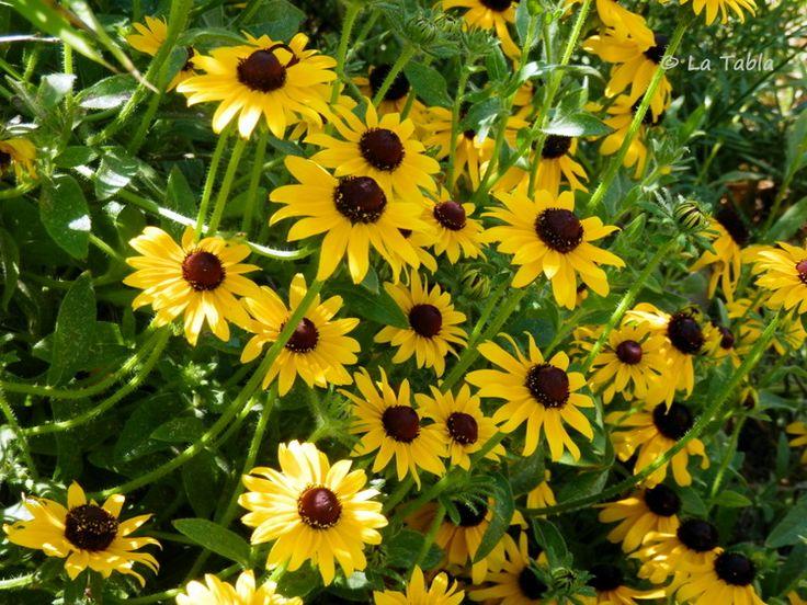 La Tabla en El Jardín: Muchas flores y alguna mariposa. Rudbeckia
