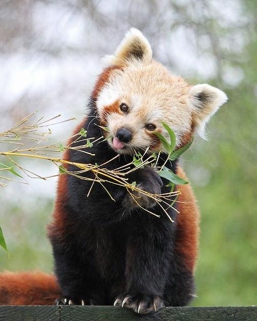 .petit panda roux