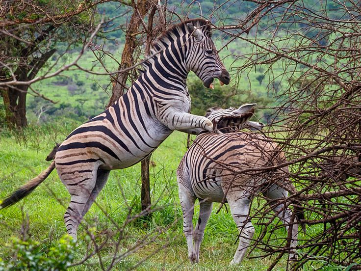 ZebraThe stripes of a zebra are different for each animal